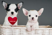 Two Chihuahua puppies. — Stok fotoğraf