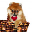 Pomeranian puppy — Stock Photo #19182021