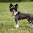 chinese crested dog — Stock Photo
