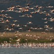 A flock of Flamingos, in flight. — Stock Photo
