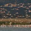 A flock of Flamingos, in flight. — Stock Photo #31536211