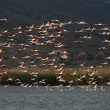Flock of Flamingos, in flight. — Stock Photo #31609861