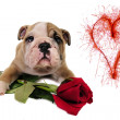 English bulldog puppy with valentine rose — Stock Photo
