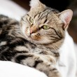 Very beautiful young european cat — Stock Photo #14057528