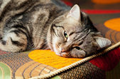 ソファでリラックス美しいヨーロッパの猫 — ストック写真