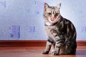 Cat licks her lips — Stock Photo
