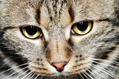 Close-up portrait of green-eyed European cat — Stock Photo