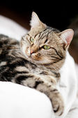 Very beautiful young european cat — Stock Photo