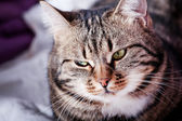Tabby Cat looking into side — Stockfoto