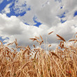Spikes of the wheat and blue sky with clouds — Stock Photo