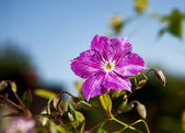 Purple flower in full blossom against blue sky with shallow dept — Stock Photo
