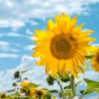 Beautiful sunflowers in the field with bright blue sky - Foto Stock