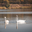 Royalty-Free Stock Photo: Two white swans floating on the water