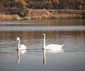 Two white swans floating on the water — Stock Photo