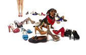 Female legs, dachshund and shoes — Stock Photo
