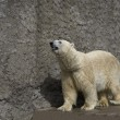 polar bear in a zoo — Stock fotografie #26355937