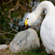 The swan sharpens a beak — Stock Photo
