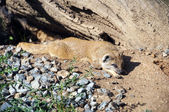 Dwarfish mongoose — Stockfoto