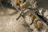 Dwarfish mongoose — Stock Photo
