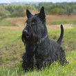 The Scottish Terrier (Scottie) — Stock Photo