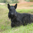 Scottie - Stock Photo