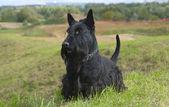 The Scottish Terrier (Scottie) — Stock Photo