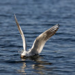 Stock Photo: Black-headed gulls hunt