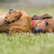 Dog played enough to sleep — Stock Photo