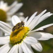 Little bee sits on a large daisy — Stock Photo