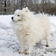Samoyed dog portrait - Stock Photo