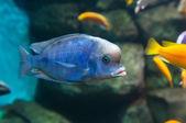 Blue Dolphin (Cyrtocara moorii) — Stock Photo