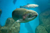 Rainbow trout or Salmon trout (Oncorhynchus mykiss) close-up und — Stock Photo