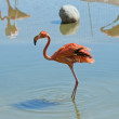 Ordinary or pink flamingos — Stock Photo