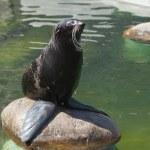 Northern fur seal — Stock Photo #26431369