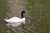Black-necked Swan — Stock Photo
