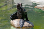 Northern fur seal — Stock Photo