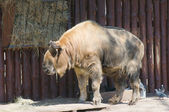 Takin (Latin Budorcas taxicolor) — Stock Photo