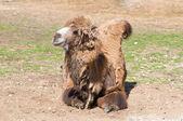Camel resting — Stock Photo