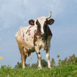The cow walks on a meadow — Stock Photo