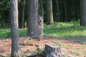 Feral dog hiding behind a tree — Stock Photo
