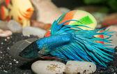 Manliga betta splendens blå i akvarium — Stockfoto