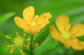 Yellow flowers with a drop of rain in summer (Ranunculus acris) — Stock Photo