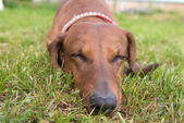 Dog sleeping on green grass — Stock Photo