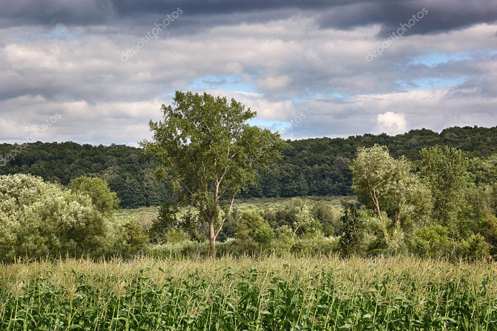 Corn field on a windy day with forest in background — Stock Photo #12020806