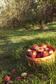 Bushel of apples in the orchard — Stock Photo