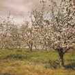 Blossoming apple orchard in spring — Stock Photo #39405565