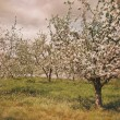 Stock Photo: Blossoming apple orchard in spring