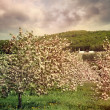 Stock Photo: Blossoming apple trees in spring