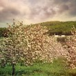 Blossoming apple trees in spring — Stock Photo