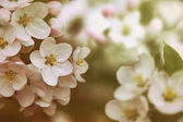Closeup of apple blossom flowers with vintage color filters — Stock Photo